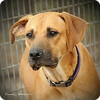 Anatolian Shepherd/Vizsla Mix Dog for adoption in Quinlan, Texas - Otis