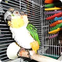 Adopt A Pet :: Harley - Neenah, WI