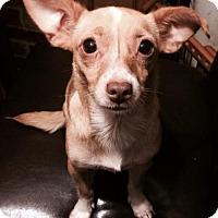 Chihuahua Dog for adoption in West Palm Beach, Florida - Xeana