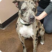 Adopt A Pet :: Zada - Baton Rouge, LA