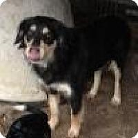Australian Shepherd Mix Dog for adoption in Quinlan, Texas - Franki