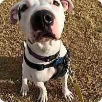 Adopt A Pet :: Rogue - Gilbert, AZ