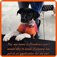 Adopt A Pet :: Prudence - Charlotte, NC