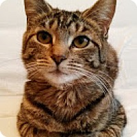 Adopt A Pet :: Zita the dear Tabby - New york, NY