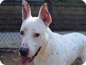 Dalmatian/American Bulldog Mix Dog for adoption in Atlanta, Georgia - KAFFIDUL