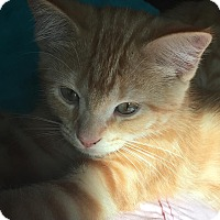 Domestic Shorthair Kitten for adoption in Elyria, Ohio - Mercury