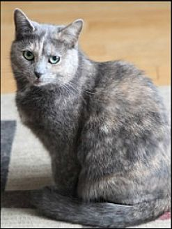 Domestic Shorthair Cat for adoption in Bainsville, Ontario - PENNY