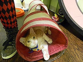 Domestic Shorthair Kitten for adoption in The Colony, Texas - Beta