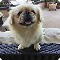 Pekingese Dog for adoption in El Cajon, California - Otis