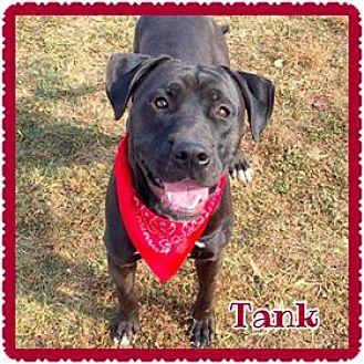 Pit Bull Terrier Dog for adoption in Jasper, Indiana - Tank