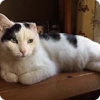 Adopt A Pet :: Tony Atlas - Merrifield, VA