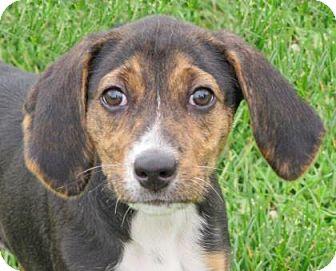Hound (Unknown Type) Mix Puppy for adoption in Woodstock, Illinois - Katana
