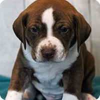 Adopt A Pet :: All Spice - Waldorf, MD