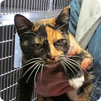 Domestic Shorthair Cat for adoption in Silver City, New Mexico - KayLee