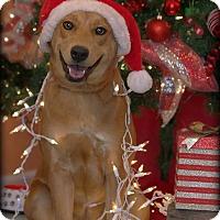Adopt A Pet :: Darcy - Dixon, KY