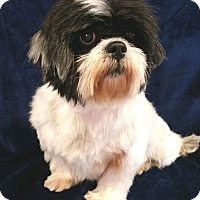 Adopt A Pet :: Tabby Turner - Urbana, OH