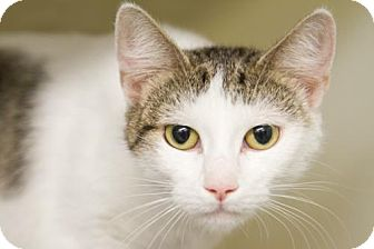 Domestic Shorthair Cat for adoption in Millersville, Maryland - Caddy