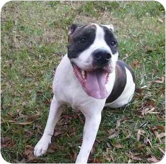 Ralph | Adopted Dog | Mocksville, NC | American Bulldog ...
