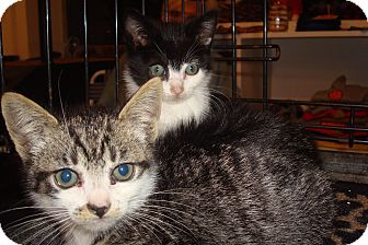 Domestic Shorthair Kitten for adoption in Brooklyn, New York - Marbles