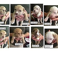 Adopt A Pet :: St Patrick's Day 14 Girl Pups - Peru, IN