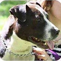 Adopt A Pet :: Biggie - Chicago, IL