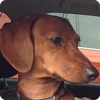 Adopt A Pet :: DIXIE - Portland, OR