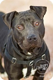 Shar Pei/Labrador Retriever Mix Dog for adoption in Chandler, Arizona - ANGEL