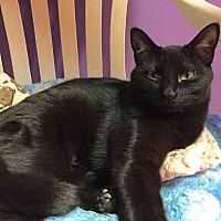 Domestic Shorthair Cat for adoption in Topeka, Kansas - Jin Jin