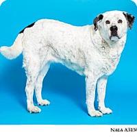 Adopt A Pet :: Nala - Reno, NV