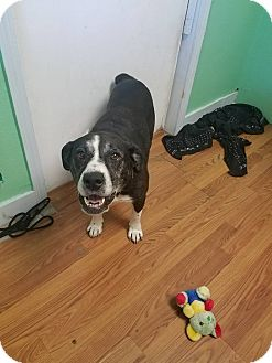 American Pit Bull Terrier Mix Dog for adoption in north myrtle beach, South Carolina - Sadie