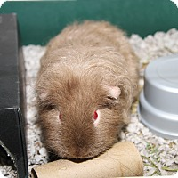 Guinea Pig for adoption in Marietta, Ohio - Nipper