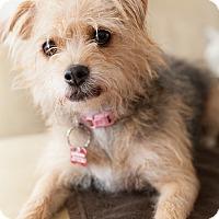Adopt A Pet :: Dahlia - Encino, CA