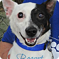 Adopt A Pet :: Bogart - Roanoke, VA