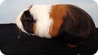 Guinea Pig for adoption in Aurora, Colorado - Hawk
