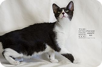 Domestic Shorthair Cat for adoption in Houston, Texas - CROMWELL