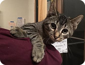 Domestic Shorthair Kitten for adoption in Naugatuck, Connecticut - Kazoo