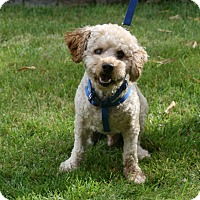 Poodle (Miniature) Mix Dog for adoption in Carlsbad, California - Simon