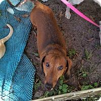 Dachshund Dog for adoption in Pinellas Park, Florida - Ozzy