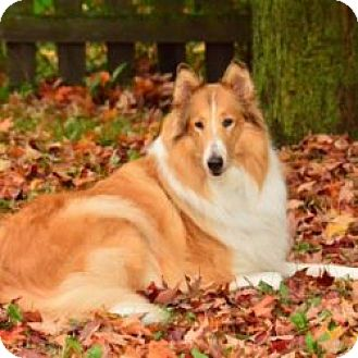 Collie Dog for adoption in Dublin, Ohio - DARCY