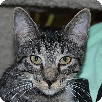 Domestic Shorthair Cat for adoption in Fairfax, Virginia - Diglett