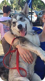 Siberian Husky/German Shepherd Dog Mix Puppy for adoption in Rancho Mirage, California - EEYORE