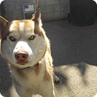 Adopt A Pet :: A088872 - Hanford, CA