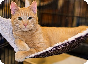 Domestic Shorthair Kitten for adoption in Mooresville, North Carolina - A..  Cheddar