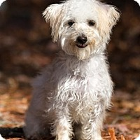 Poodle (Miniature)/Yorkie, Yorkshire Terrier Mix Puppy for adoption in Meridian, Mississippi - Bart