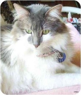 Maine Coon Cat for adoption in Beverly Hills, California - Bella Cheri