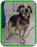 German Shepherd Dog/Labrador Retriever Mix Dog for adoption in Allentown, Pennsylvania - Andes (URGENT! $150 off fee))