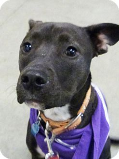 Labrador Retriever/Pit Bull Terrier Mix Dog for adoption in Detroit, Michigan - Sushi-Adopted!