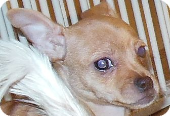 Chihuahua Puppy for adoption in MINNEAPOLIS, Kansas - Ted
