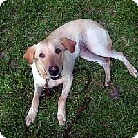 Labrador Retriever Dog for adoption in Tyler, Texas - A-Hank