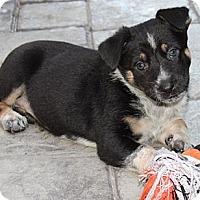 Adopt A Pet :: Jaz-z - La Habra Heights, CA